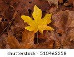 Small photo of Golden bigleaf maple (Acer macrophyllum) leaf on a layer of dead brown leaves