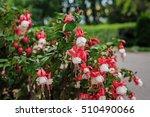 Beautiful Bush Fuchsia In The...