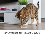 Stock photo beautiful bengal cat playing in the house with a stick by the tv funny kitten 510521278
