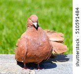 Beautiful Brown Pigeon On A...