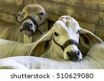 white brahman cows lying down...   Shutterstock . vector #510629080