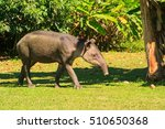 Baird's Tapir Costa Rica 1