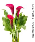 Red Calla Lilly Flower With...