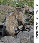 Small photo of Young syrian brown bear at watering pool. Latin name - Ursus arctos syriacus
