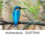 kingfisher  alcedo atthis    Shutterstock . vector #51077044