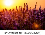 blooming lavender in a field at ... | Shutterstock . vector #510805204