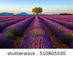 Tree in lavender field at sunrise in Provence, France - stock photo