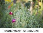 papaver somniferum  the opium