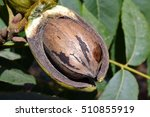 Ripe Fruit On The Tree Pecan
