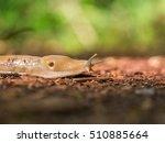 Slug Creeps On A Footpath