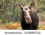 Moose   Alces Alces  Portrait...