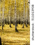 yellow birch forest  late autumn | Shutterstock . vector #511013938