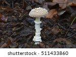 Small photo of fungi - amanita pantherina