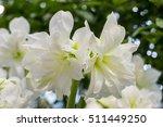 white amaryllis gramophone...   Shutterstock . vector #511449250