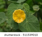 Small photo of Close up of Country mallow flower in the garden. (Herb - Abutilon indicum)