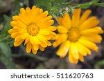 pot marigold  calendula... | Shutterstock . vector #511620763