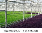 lettuce growing in greenhouse.... | Shutterstock . vector #511625308