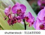 flowers. phalaenopsis orchids ... | Shutterstock . vector #511655500