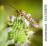 Small photo of Ailanthus web worm moth on a flower