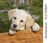 Small photo of Yellow Labrador Retriever puppy looking over wood board