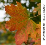 Small photo of Striking Autumnal Colours of the Leaves of a Maple Tree (Acer) in an Arboretum in Rural Devon, England, UK
