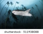 Seven Gill Or Cow Shark ...