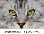 Close Up Shot Of Maine Coon Cat ...