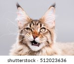 Stock photo portrait of domestic black tabby maine coon kitten months old cute striped kitty looking at 512023636