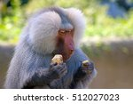 Hamadryas Baboon Eating