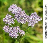 Small photo of Medicinal wild herb Yarrow ( Achillea millefolilium ). The plant during flowering with pink-colored flower , closeup