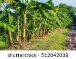 banana tree growing in... | Shutterstock . vector #512042038