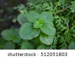mint in herb garden thailand.   Shutterstock . vector #512051803