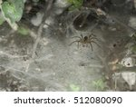 Small photo of Aglaoctenus sp, Lycosidae family at her web
