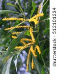 Small photo of Acacia auriculiformis, commonly known as auri, earleaf acacia, earpod wattle, northern black wattle, Papuan wattle, and tan wattle, akashmoni in Bengali