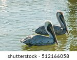 Two Brown Pelicans Swimming An...