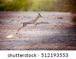 Jumping Gazelle On Sir Bani Yas ...