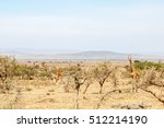 Giraffes Standing Among The...