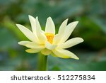 Small photo of American lotus bloom on a Missouri marsh.