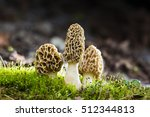 Morchella Esculenta   Commonly...