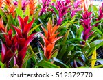 Bromeliad Flower In The Garden