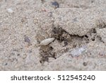 Small photo of Wolf spider, Arctosa