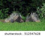 malayan porcupine  himalayan... | Shutterstock . vector #512547628