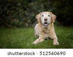 Old Golden Labrador Dog Lies I...