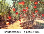 Pomegranates Fruits. Trees On...
