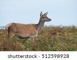 Red Deer Hind In Thick Bracken...