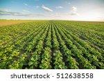 Green Field Of Potato Crops In...