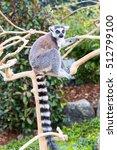Small photo of Ring-tailed lemur aka Lemur catta sitting on the tree