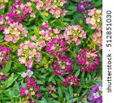 Small photo of A macro shot of some colourful alyssum blooms.