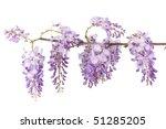 Wisteria Branch Blossom...