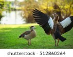 Male And Female Egyptian Goose...